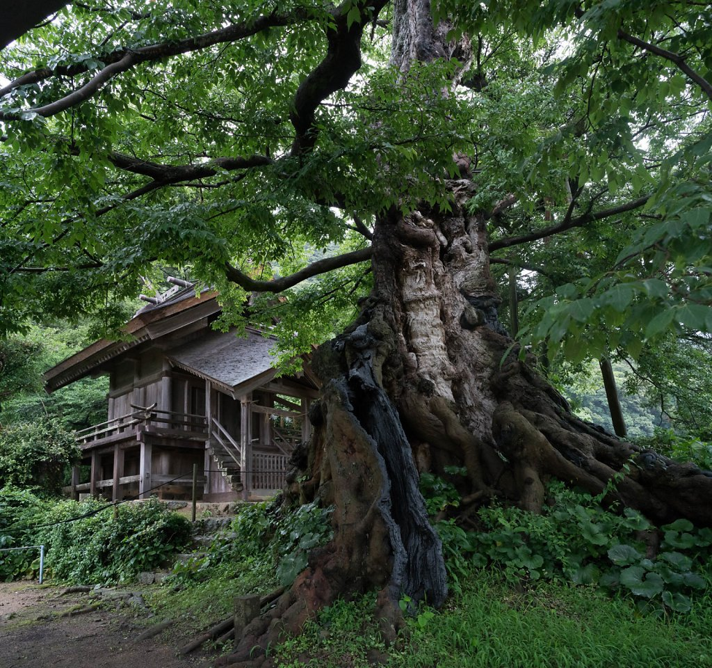 命主社と大楠   Inochi-nushi no yashiro and its camph